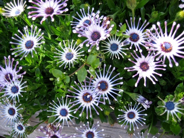 White African daisies ©copyright2013owpp
